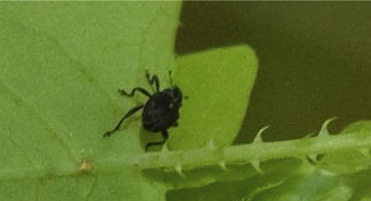 Mile-a-minute Weevil